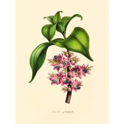 Medinilla Erythrophylla