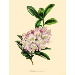Rhododendron Fragrans