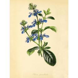 Salvia Prunelloides