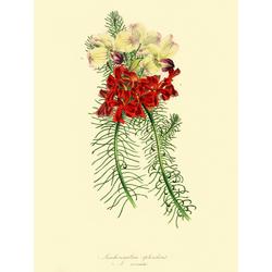 Leschenaultia Splendens
