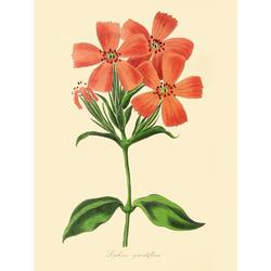 Lychnis Grandiflora
