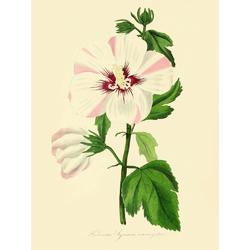 Hibiscus Syriacus Variegatus