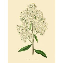 Escallonia Montevidensis