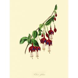 Fuchsia Globosa