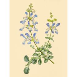 Salvia Linarioides