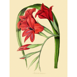 Gladiolus Insignis