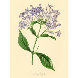 Rondeletia Longiflora