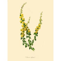 Acacia Biflora