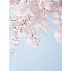 Sakura | Сакура