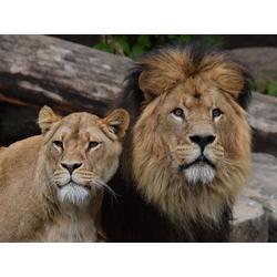 Lion and Lioness | Лев и львица