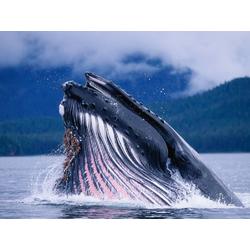 Killer whale | Косатка