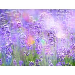 Lavender | Лаванда