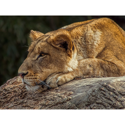 Lioness | Львица