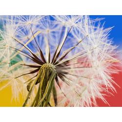 Dandelions | Одуванчики