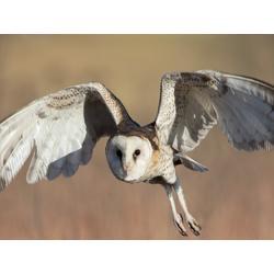 Birds | Птицы - Сова
