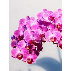 Orchid | Орхидеи