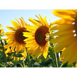 Sunflowers | Подсолнухи
