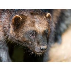 Wolverine | Росомаха