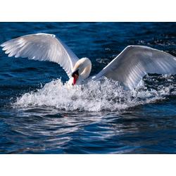 Swan | Лебедь