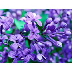 Flowers | Сиреневые цветы | Сирень