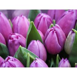 Flowers   Сиреневые цветы   Тюльпаны