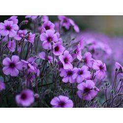 Flowers | Сиреневые цветы
