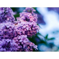 Flowers   Сиреневые цветы   Сирень