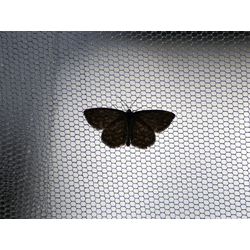 Black Butterfly | Черная бабочка