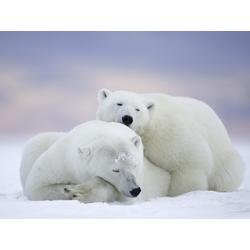 Bears | Медведи