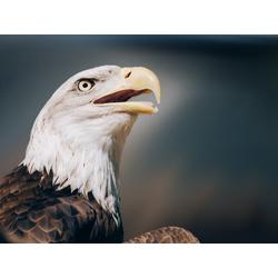Eagle | Орел