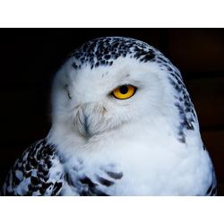 Owl | Сова
