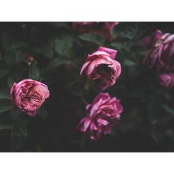 Peonies | Пионы