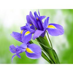 Irises | Ирисы