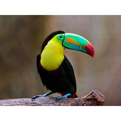 Bird | Птица: Тукан