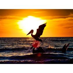 Bird | Птица: Пеликан