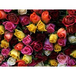 Roses | Розы
