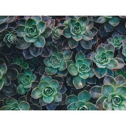 Succulent   Суккулент