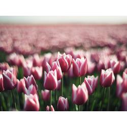 Tulips | Тюльпаны