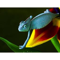 Chameleon | Хамелеон